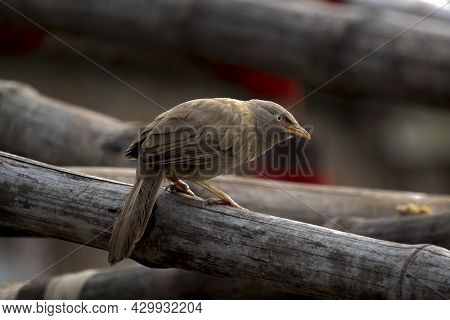 Beautiful Indian Jangle Babbler Bird Sit On A Bamboo And Looking For His Food
