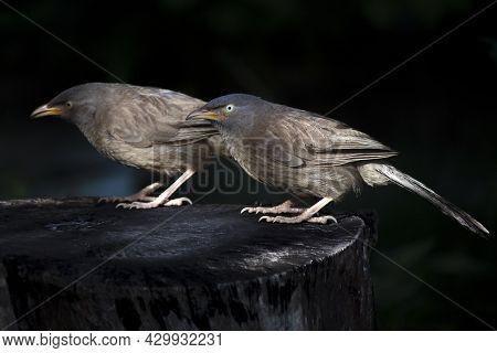 Two Jangle Babbler Bird Sit On A Tree Trunk