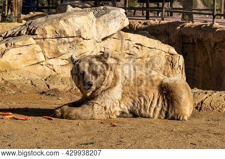 Brown Bear, Ursus Arctos In Tabernas Desert, Andalusia, Spain In Europe