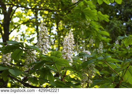 Chestnut Blossom, Branch Of Blossoming Chestnut Tree With Leaves And Flowers