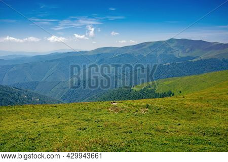 Alpine Mountain Meadow In Summer. Beautiful Landscape Of Carpathians On A Bright Sunny Day At High N