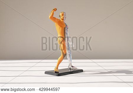 Human Body 3d Model Without Skin With Muscular System Over On Background. Anatomical Structure Of Pe