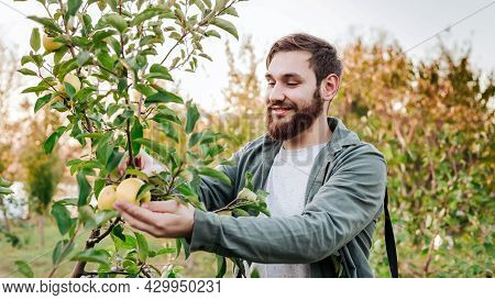 Young Attractive Farmer Male Worker Crop Picking Apples In Orchard Garden In Village During Autumn H