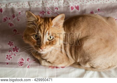 Domestic Cat With Ginger Fur Is Lying On The Bed After Grooming And Trimming During Summer, Animal C
