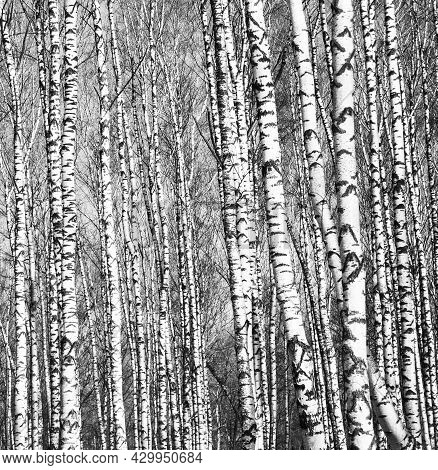 Spring View Of Trunks Of Birch Trees Black And White