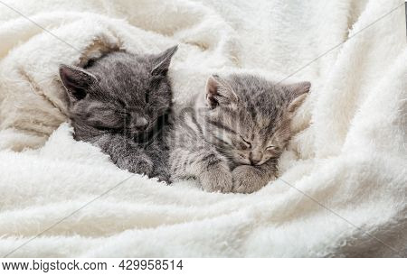 2 Sleepy Kittens With Paws Sleep Comfortably In White Blanket. Family Couple Cats Resting Together.