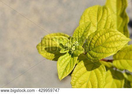Paniculate Hydrangea Pinky Winky Flower Buds - Latin Name - Hydrangea Paniculata Pinky Winky