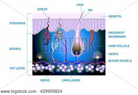 Anatomy Of The Skin And The Layers And Elements That Compose It. Medical Illustration