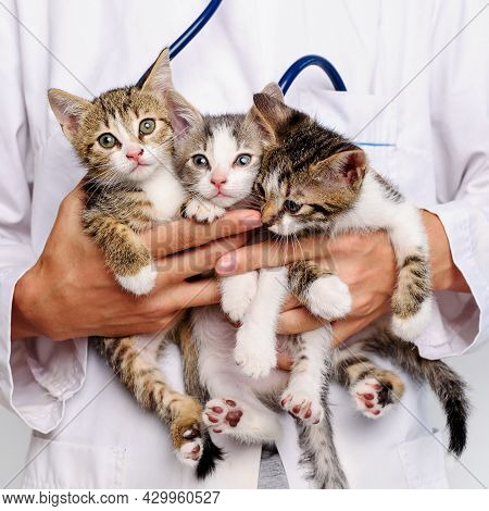 Funny Kittens In The Hands Of A Veterinarian. A Veterinarian Keeps Kittens. Kittens Are Being Examin