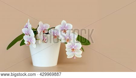 White Blooming Orchid Flower In A White Pot On A Light Beige Background. Flower Banner, Copy Space.