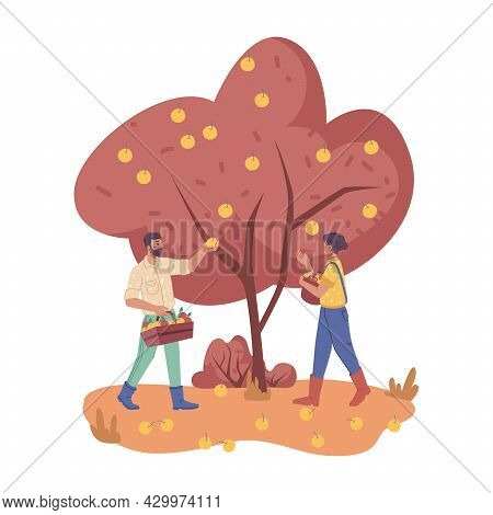People Work On Plantation Picking Apple From Trees Isolated. Vector Man Farmers Gathering Fruits In