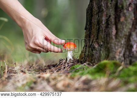 A Woman Reaches Out With Her Hand To Pick A Mushroom Fly Agaric. An Inedible Mushroom Is A Red Fly A