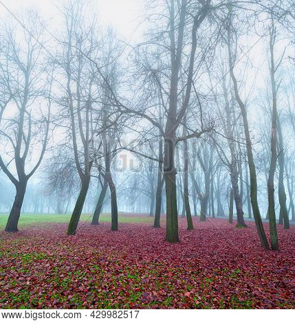 Autumn forest landscape, autumn forest bare trees in the foggy weather. Foggy forest autumn park in autumn morning, autumn forest park landscape