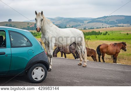 Big And Huge Beautiful White Horse Versus Car On Mountain