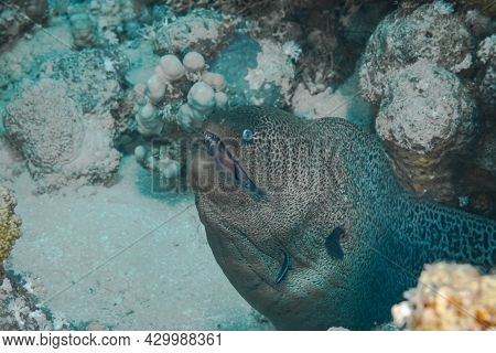 Fish Of The Red Sea. Giant Moray As The Name Suggests, The Giant Moray Is A Large Eel, Reaching Up T