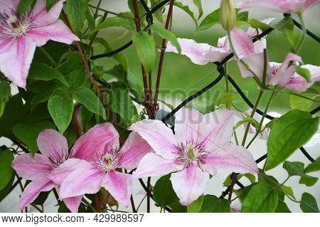 Pink Clematis Flowers In The Garden. Clematis Pink Fantasy