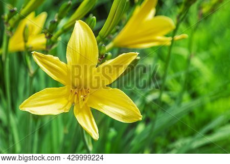 Yellow Lily Flowers With A Blurred Natural Background. The Flower Of A Yellow Lily Growing In A Summ