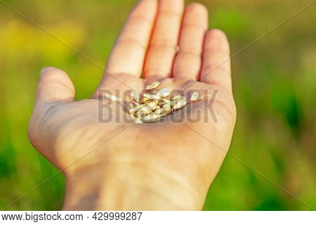 A Farmer's Palm With Grain. Men's Palms With Ripe Wheat Grain On The Background Of A Field. Agricult