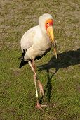 Yellow Billed Stork (Mycenteria ibis) from Africa poster