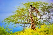 Giraffe 's head standing out from the bush. Safari in Tsavo West, Kenya, Africa poster