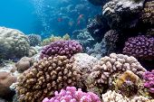 colorful coral reef with hard corals on the bottom of red sea in egypt poster