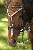 Closeup portrait of brown horse with equipments outdoors. poster