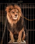 Gorgeous lion sitting in a circus arena cage poster