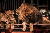 Gorgeous roaring lion and two lioness on circus arena poster