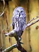 The Great Grey Owl Strix nebulosa sitting on a branch poster