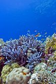 coral reef with blue hard corals at the bottom of red sea in egypt poster