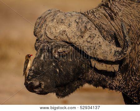Oxpecker and Buffalo