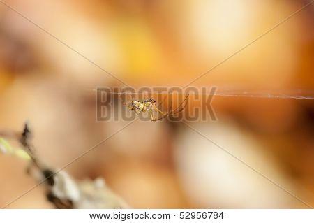 Autumn Spider - Metellina - web