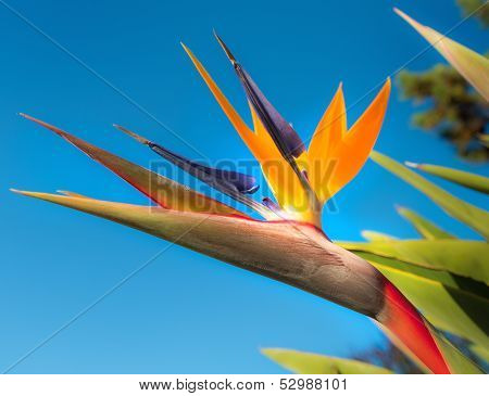 Bird of Paradise Flower in a Garden, Abstract