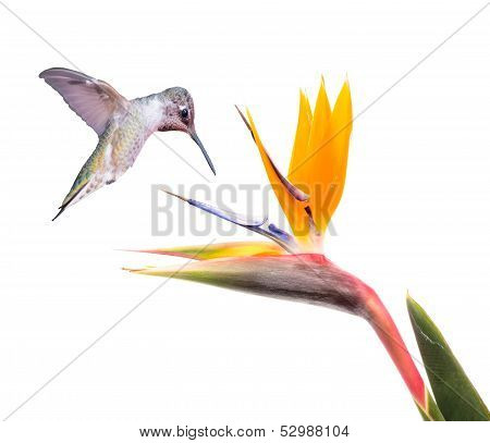 Ruby Throated Hummingbird and Bird of Paradise Flower Isolated on a White Background