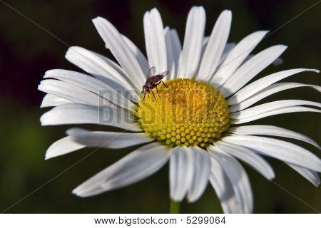 Daisy With Fly
