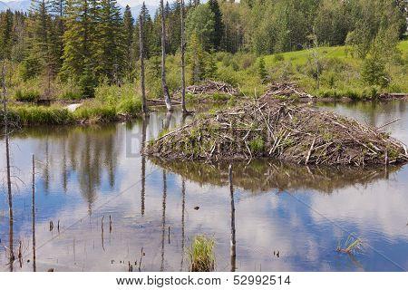 Castor Canadensis Beaver Lodge In Taiga Wetlands