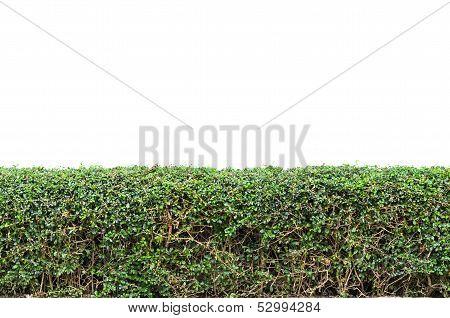 Bushes Fence