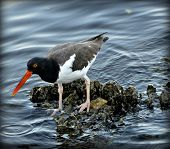 Beautiful American Oyster catcher searching for food on the shore of Tampa Bay. poster