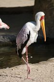 A Wild Yellow-billed Stork - Mycteria ibis poster