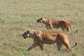 Lionesses on the prowl in Ngorongoro Crater Tanzania. poster