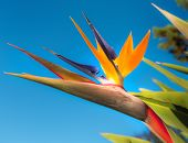 Bird of Paradise Flower in a Garden, Abstract poster