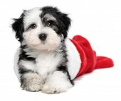 Cute Bichon Havanese puppy dog is lying in a Christmas - Santa boots. Isolated on a white background poster