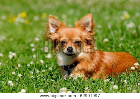 Chihuahua puppy dog resting on green grass