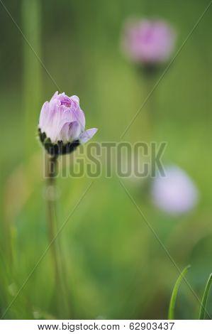 Tiny Daisy In Green Meadow