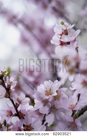 Pink Spring Blossom Macro.