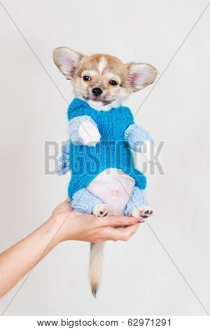 Small purebred puppy on white background. Pet in a female hand in the studio. poster