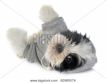 Dressed Puppy Shitzu