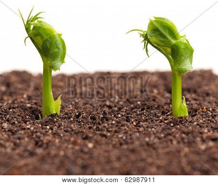 Sprouted peas in organic soil over white background poster