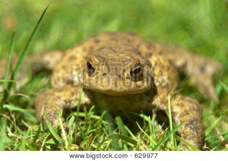 frog in the garden poster