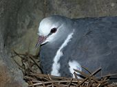 Dove sitting on nest poster